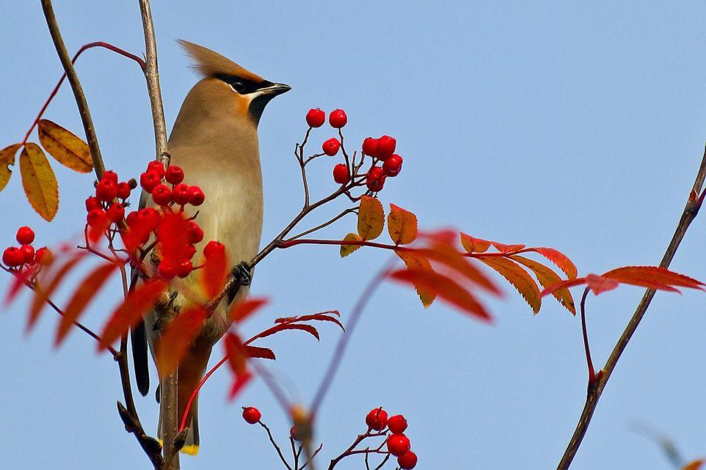 Die Vögel gehören zu unseren Wintergästen: Die Seidenschwänze